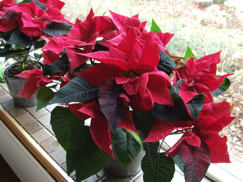Pointsettia, Christmas flower, Lobster flower, Mexican flame leaf. (Euphorbia pulcherrima)������
