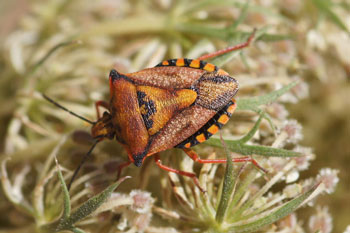 Carpocoris fuscispinus. Family Stink bugs (Pentatomidae).