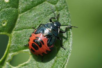 beetle with yellow spots