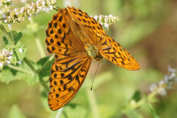 Silver-washed Fritillary (Argynnis paphia)� Family Nymphalidae