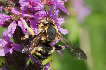 Wool Carder bee (Anthidium spec.)  Family Megachilidae