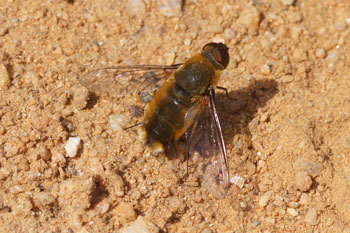 Villa spec.  Bee-fly family (Bombyliidae)