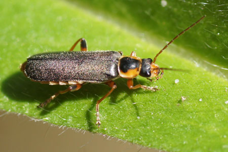 Cantharis nigricans. Familie Weekschildkevers (Cantharidae).
