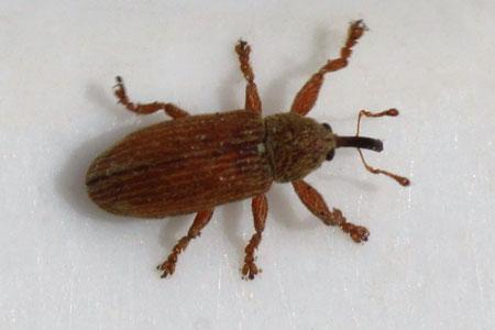 Snout beetles, weevils (Curculionoidea in the garden