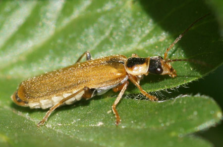 Cantharis decipiens. Familie Weekschildkevers (Cantharidae)
