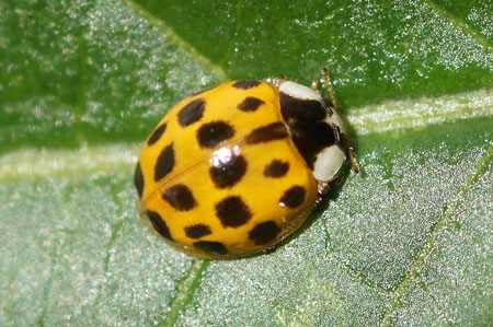 Harlequin ladybird, Multicoloured Asian ladybird, Asian lady beetle,  Japanese ladybug (Harmonia axyridis) Genus Harmonia. Subfamily Coccinellinae. Family Ladybirds, ladybugs (Coccinellidae).