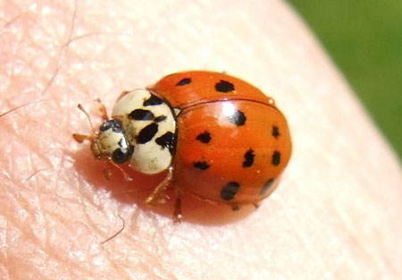 Not Asian ladybug genus species name