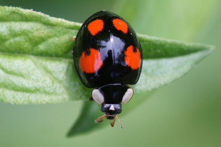 Asian ladybug genus species name think, that