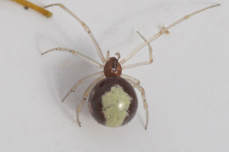 Witband kogelspin (Neottiura bimaculata).  Vrouwtje. Familie kogelspinnen (Theridiidae).
