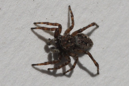 Harige springspin (Sitticus pubescens). Onderfamilie Sitticinae. Familie springspinnen (Salticidae).