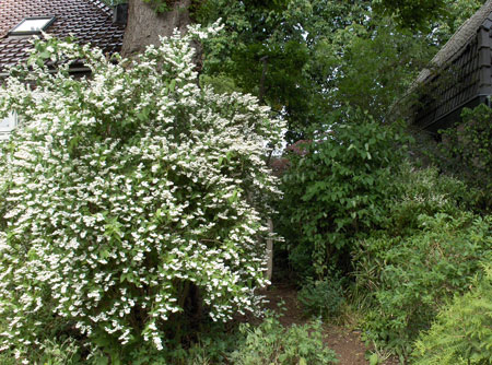 the deutzia in front of the chesnut