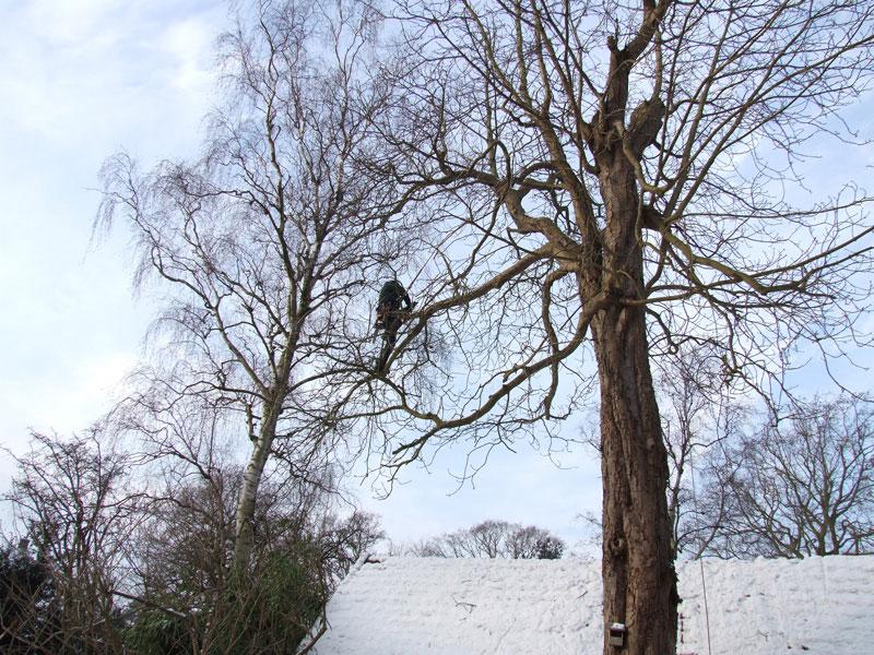 Het snoeien van de kastanjebomen 13 01 2010