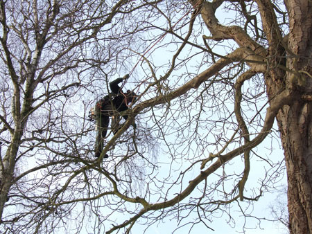 The pruning of the horse chestnut trees. (13-01-2010)