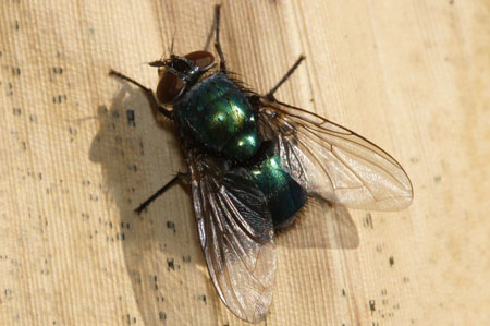 Greenbottle Family Blow-flies (Calliphoridae)