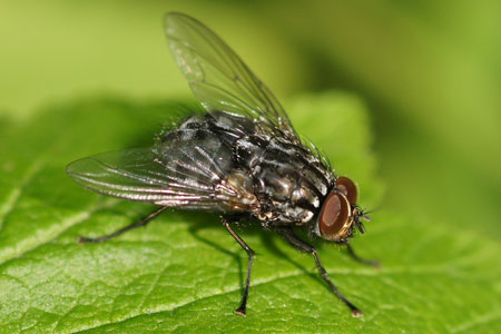 Polietes meridionalis. male. Genus Polietes. Subfamily Muscinae. Genus Musca. Family House flies (Muscidae).