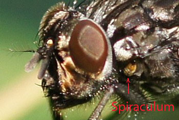 Polietes meridionalis. female. Genus Polietes. Subfamily Muscinae. Genus Musca. Family House flies (Muscidae).