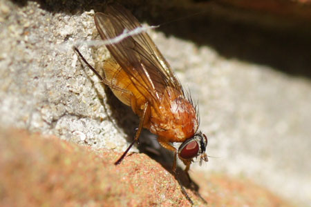 Thricops diaphanus, synonym Thricops varians.  Genus Thricops. Family House flies (Muscidae)