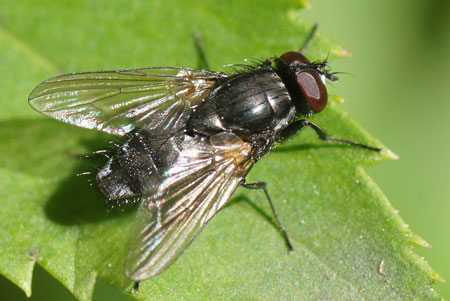Hydrotaea dentipes. Genus: Hydrotaea. Tribe Azeliini. Subfamily Azeliinae. Family House flies (Muscidae).