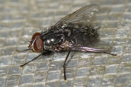 Muscina prolapsa. Genus Muscina. Tribe Reinwardtiini. Subfamily Muscinae. Family House flies (Muscidae).