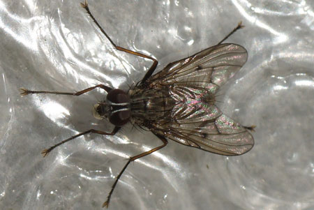 Genus Phaonia. male Tribe Phaoniini. Subfamily Phaoniinae. Family House flies (Muscidae).