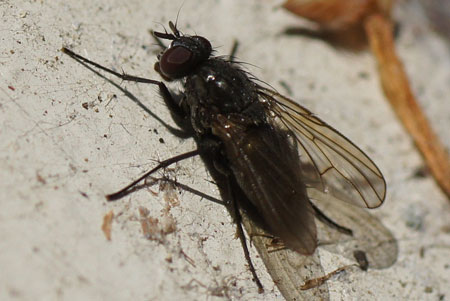Probably: Phaonia halterata. Genus Phaonia. Tribe Phaoniini. Subfamily Phaoniinae. Family House flies (Muscidae).