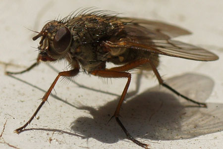 Phaonia tuguriorum. Genus Phaonia. Tribe Phaoniini. Subfamily Phaoniinae. Family House flies (Muscidae).