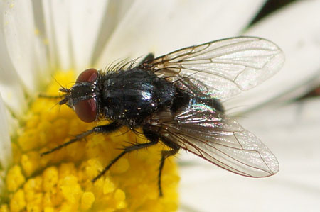 Melinda spec. Family Blow-flies (Calliphoridae)