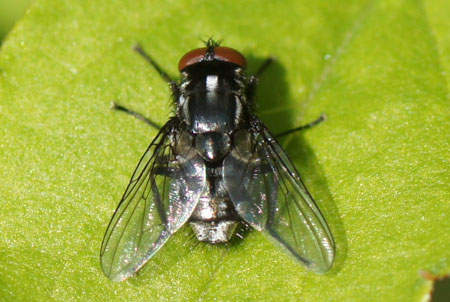 Morellia hortorum.  Male. Genus Morellia.  Tribe Muscini. Subfamily Muscinae. Family House flies (Muscidae).