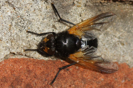 Noon fly (Mesembrina meridiana). Genus Mesembrina. Tribe Muscini. Subfamily Muscinae. Family House flies (Muscidae).