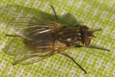 House fly (Musca domestica). Genus Musca. Tribe Muscini. Subfamily Muscinae. Family House flies (Muscidae).