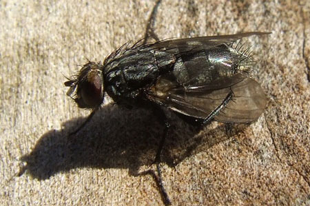 Muscina levida. Genus Muscina. Tribe Reinwardtiini. Subfamily Muscinae. Family House flies (Muscidae).