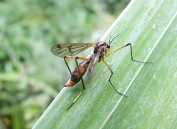 hoe vaak prikt een mug