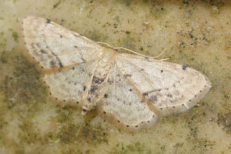 Single-dotted Wave (Idaea dimidiata) Family geometer moths (Geometridae).