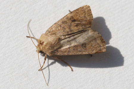 Uncertain (Hoplodrina octogenaria, synonym Hoplodrina alsines) Family Noctuidae or Owlet moths.