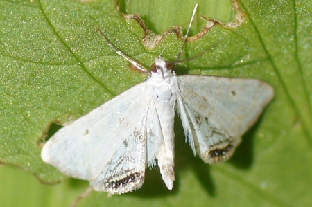 Small China-mark (Cataclysta lemnata). Subfamily Nymphulinae. Family grass moths (Crambidae).