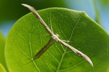 T-Moth or Morning-glory Plume Moth (Emmelina monodactyla). Family Plume moths (Pterophoridae).