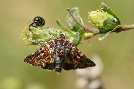 Beautiful Yellow Underwing (Anarta myrtilli). Caterpillar. Subfamily Hadeninae. Family Noctuidae or Owlet moths.
