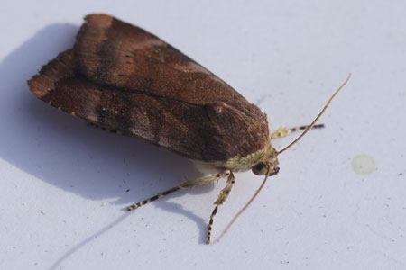 Lesser Broad-bordered Yellow Underwing / Langmaid's Yellow Underwing ( Noctua janthe / Noctua janthina). Tribe Noctuini. Subfamily Noctuinae. Family Noctuidae or Owlet moths.