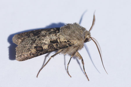 Heart and club (Agrotis clavis). Tribe Agrotini. Subfamily Noctuinae. Family Noctuidae or Owlet moths.