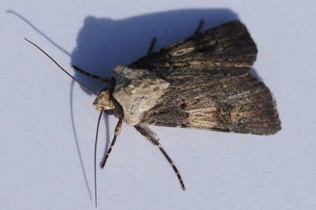 Shuttle-shaped Dart (Agrotis puta). Female. Tribe Agrotini. Subfamily Noctuinae. Family Noctuidae or Owlet moths.