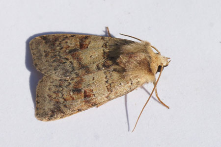 VIngrailed Clay (Diarsia mendica). Tribe Agrotini. Subfamily Noctuinae. Family Noctuidae or Owlet moths.