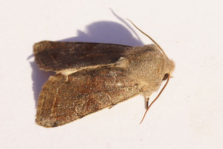 Clouded Drab (Orthosia incerta). Subfamily Hadeninae. Family Noctuidae or Owlet moths.