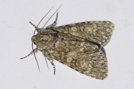 Poplar Grey (Subacronicta megacephala). Subfamily Acronictinae. Family Noctuidae or Owlet moths.