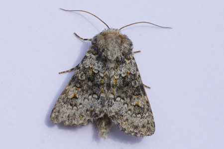 Small Ranunculus (Hecatera dysodea). Subfamily Hadeninae. Family Noctuidaeor or Owlet moths.