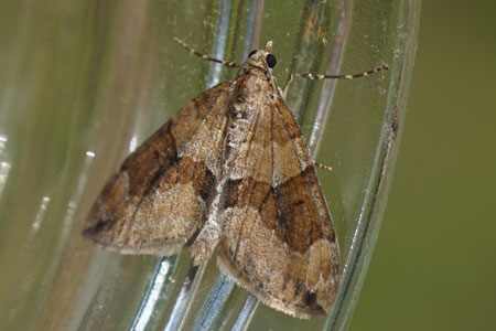 Moths: Geometer moths in the garden