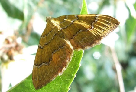 Yellow shell moth (Camptogramma bilineata). Family geometer moths (Geometridae).