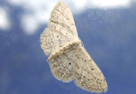 Small Dusty Wave (Idaea seriata) Family geometer moths (Geometridae)