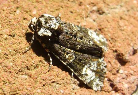Coronet (Craniophora ligustri). Tribe Acronictini. Subfamily Acronictinae. Family Noctuidae or Owlet moths.