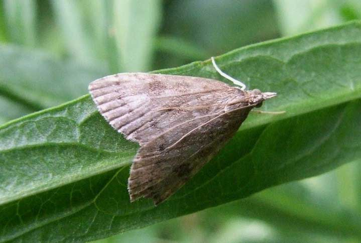 Udea prunalis Subfamily Pyraustinae. Family grass moths (Crambidae).