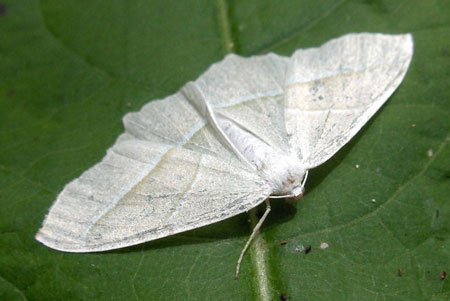 Light Emerald (Campaea margaritata) Family geometer moths (Geometridae)